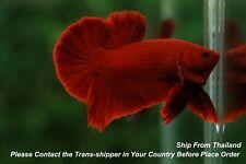 Super Red male Hmpk Tropical betta fish#B299/ 3.5 mo/ body size 1.5''
