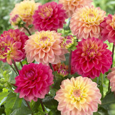 Flower seed - Dahlia Figaro Mix 50 seeds
