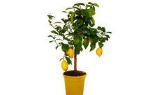 Pianta albero di limone quattro stagioni vs22 agrumi di sicilia frutto giardino