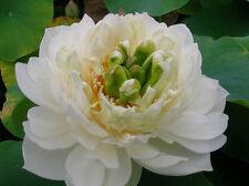 Semi Fior di Loto Nelumbo 'Snow White'  Nucifera bianco,  piante fiori dal mondo