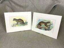 Antique Wild Animal Cat Prints Leopard Fishing Cats Ca. 1896