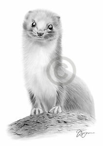WEASEL pencil drawing art print A3 / A4 sizes signed UK artwork