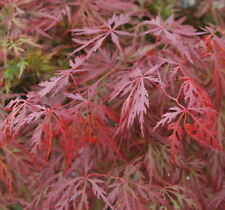 Japanese Maple Acer ORANGEOLA  HIGH GRAFTED LONG TRUNK