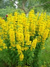 Lysimachia punctata (Verbeynic) Yellow Flower Seeds from Ukraine