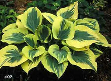 HOSTA PLANT LIBERTY  .BUY ANY   5 HOSTAS GET 1 FREE SHIPPING SPRING 2017