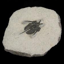 *Devil Horn* Cyphaspis Trilobite Fossil Moroccan fossilised Devonian Arthropod
