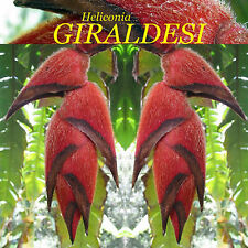 ~Heliconia GIRALDESI~ FURRY LOBSTER CLAW Collector Rare Species 10 Seeds
