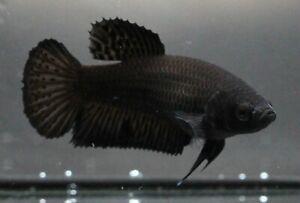 Thai Betta Pet Fish Plakat Fight Black Aqua Home Female Premium Breeder Rare AAA