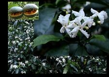 Tabernaemontana Ventricosa - Forest Toad - Rare Tropical Plant Tree Seeds (5)