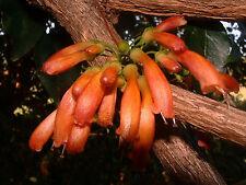15 Seeds | Halleria lucida | Tree Fuchsia | Very Rare Tropical Plant Tree Seeds
