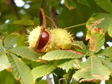 CONKERS HORSE CHESTNUTS FRESH 20 UNITS THIS YEAR PICK