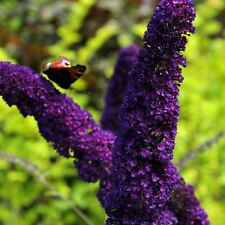 """Buddleja davidii Black Knight - Buddleia Butterfly Bush, Plant in 3.5"""" Pot"""