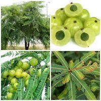 50 semi di Phyllanthus emblica,Amla, uva spina indiana, seeds
