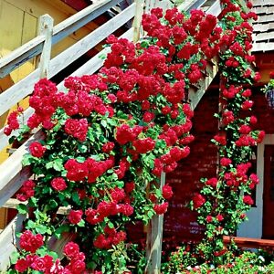 ✅ 🌹 Colorful Rainbow Rose Flower Seeds Home Garden Plants Colorful Rose RS06-25