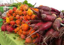 Barbabietole varietà Cylindra 100 semi Beta vulgaris ROSSA va prorogato