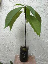 1 AVOCADO TREE PLANT ORGANIC + BONUS 50 Seeds Of CHAMAEDOREA SEIFRIZII