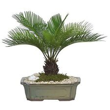 20 PCs Palm tree Seeds Pot Tree Bonsai Decoration For Home