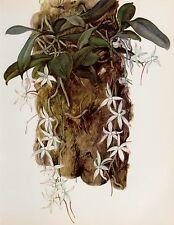 Vintage ORCHID Print Botanical Flower Print Cottage Decor Aerangis Citratum 1915