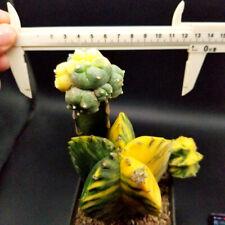 0603  // Astrophytum myriostigma/  Astrophytum asterias/