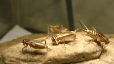 New listing Large Live Crickets For Sale