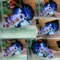 Blue Snow Koi Halfmoon Plakat Male - IMPORT LIVE BETTA FISH FROM THAILAND