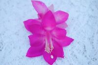 Christmas Cactus/Schlumbergera Plant~~You Choose What Variety You Want~~Group 17