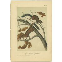 Audubon Octavo Quadruped hand-colored lithograph Pl 19  Soft haired Squirrel