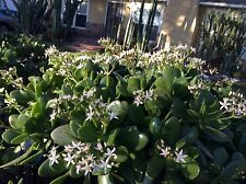 Jade plant cuttings, Crassula ovata, white flowers, super healthy, 6 lbs