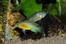 Pair of Pseudocrenilabrus multicolor (Egyptian Mouthbrooder, Cichlid)