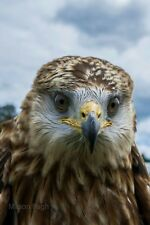 More details for red kite birds of prey a3 photography poster print