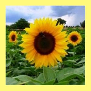 Heritage Seeds 40+ FLOWERS SUNFLOWER SUNBIRD