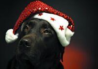 """6 x Christmas Cards Pack - Chocolate Labrador Dog FREEPOST  """"Quality Cards"""""""