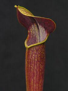 Carnivorous Sarracenia alata - Interstate 16/12, Desoto, Stone Co., MS