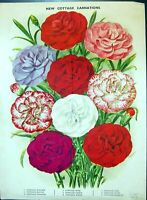 Antique Old Print Cottage Carnations Rose Ruby Scarlet Fancy Colour Flowers