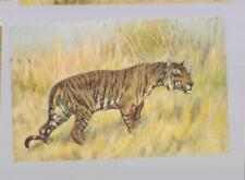 pk35293:Postcard-Beautiful View of a Tiger