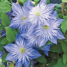 20 Light Blue Clematis Seeds Large Bloom Climbing Perennial Garden Flower 413