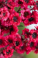 Leptospermum scoparium  Manuka , mirto  flores rosas  para miel 100 semillas