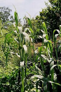 Arundo Donax Spanish Reed Young Plant 9cm Pot x 3 Plants/Pots