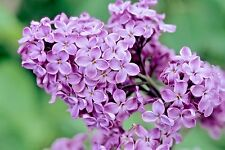 30 Common Purple Lilac Seeds - Syringa vulgaris