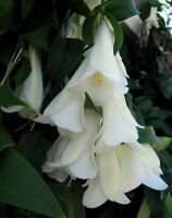 7 seeds---Lapageria rosea Chilean Bellflower FRESH SEEDS 2020 WHITE SALE