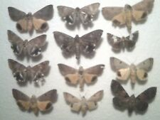 Real Butterfly/Insect/Moth Set/Spread B6199 Rare Aust Nocturnal Moths mixed x 12