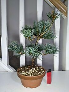"Imported Pinus parviflora NEGISHI ""Japanese White Pine"" Bonsai in 15cm Clay Pot"