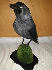 Stuffed black  Jackdaw  Taxidermy