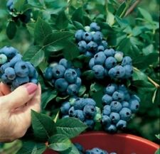 British Columbia Blueberries Highbush Plant -50 Seeds -High-Yielding Breed