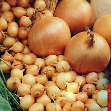 ONION SETS - STUTTGARTER - 1 KG  (SIZE 14/21 ~ APPROX 280 - 440 SETS)