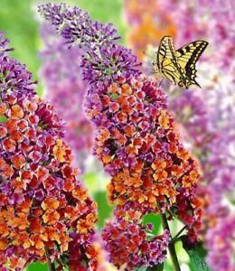Seeds Butterfly Bush Giant Mix Buddleja Outdoor Perenial Flower Heirloom Ukraine