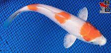 "New listing 6"" Hariwake Live Koi Fish Pond Garden Bkd"