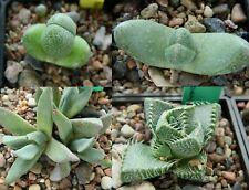 MESEMB 30+ Seeds mixed types