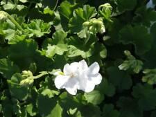 30 Geranium Calliope Medium White Live Plants Plugs Diy Planters D10002
