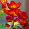 Red Freesia Flowers Plants Orchid Bonsai 100 PCS Seeds Rare Free Shipping 2019 N